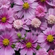 Cosmos Pink Popsock - 20 seeds